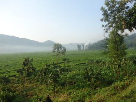 Plantation de thé sur la route entre Gisenyi et Kibuye