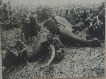 Mort d'éléphant, Ruhengeri, 1909