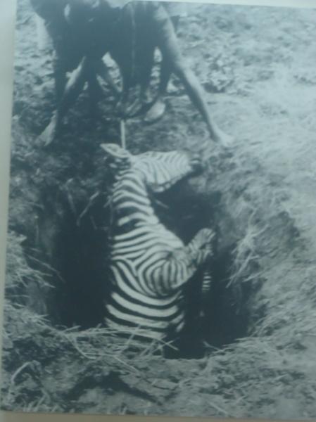 Zèbre pris dans un piège, 1910